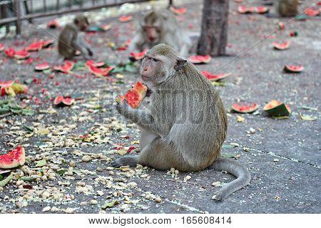 Pregnant Monkey  Enjoy To Be Eating Watermelon .