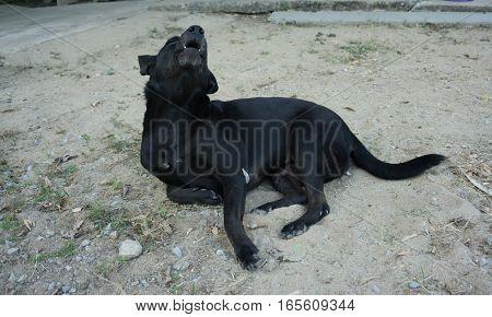 Black Dog howl. cute friendly dog .