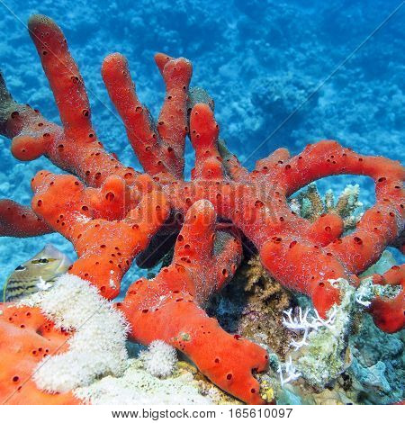 Sea red sponge with at the bottom of tropical sea underwater