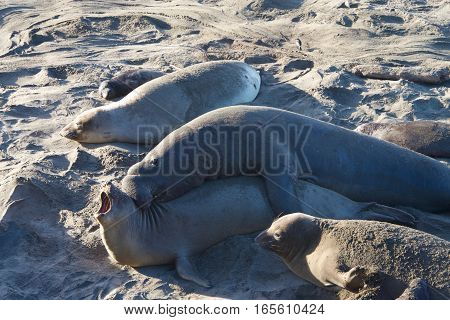 Male elephant seal attempting to mate with a female. a high-ranking bull can have a harem of 30–100 cows depending on his size and strength.