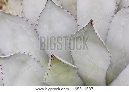 Thorn Of Cactus In Detail