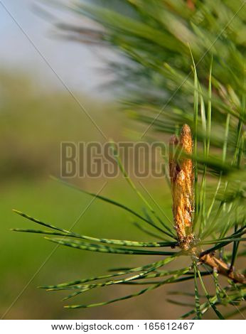 New Growth Pine Cone In Spring Time