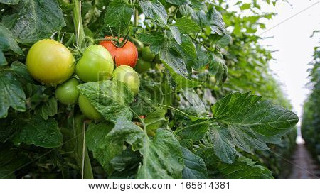 Fresh tomatoes on the vine in commercial greenhouse. Selective focus.