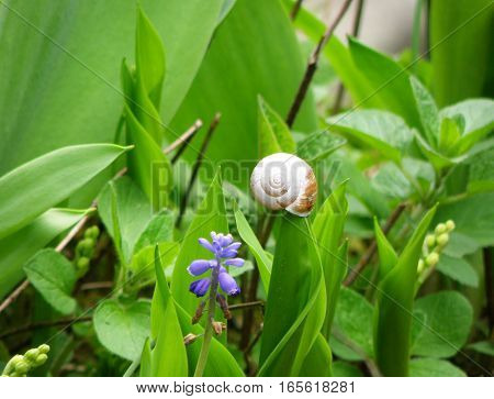 Little Snail Climbing on a Vibrant Green Color leaf of Grape Hyacinth Flower Field