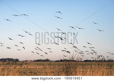 Wintering Barnacle Geese (branta leucopsis) flying in Denmark Wadden Sea close to The North Sea