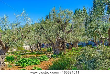 The Gethsemane Garden located is famous as the place where Jesus prayed and his disciples slept the night before his crucifixion Jerusalem Israel.