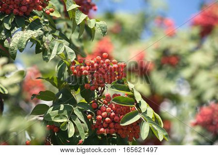 Many rowan-berries fruits hangs on green branches in early autumn closeup