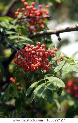 Many rowan-berries fruits hangs on green branches in early autumn vertical view closeup