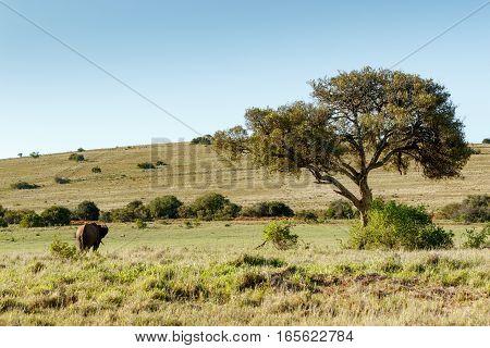 Bush Elephant Watching The Warthog