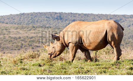 Black Rhinoceros Eating Grass
