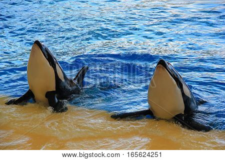 Killer whales at entertainment show in the pool