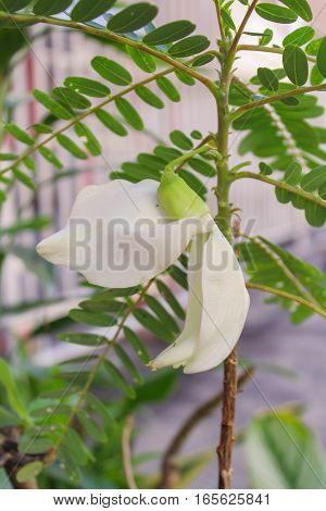 White agasta flower of Sesbania Vegetable Hummingbird , vegetable and herbs for health