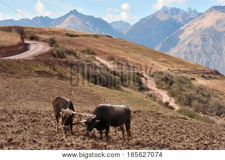 Two bulls and wooden plow mountain landscape Peru South america