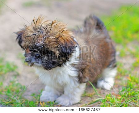 Cute Shih Tzu puppy in the garden