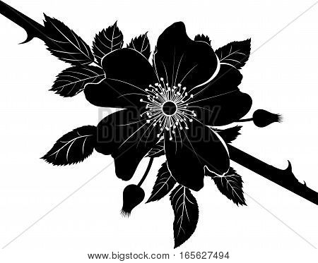 dogrose rose. Decorative briar wild rose flower in blossom isolated on white background.