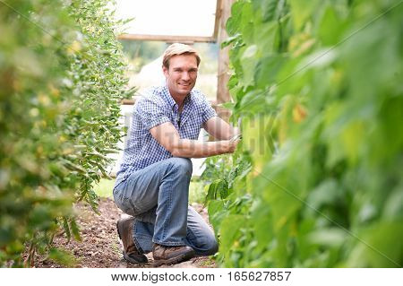 Portrait Of Farmer Checking Tomato Plants In Greenhouse