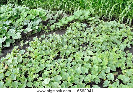 organically cultivated plantation of melon pumpkin and corn in the vegetable garden