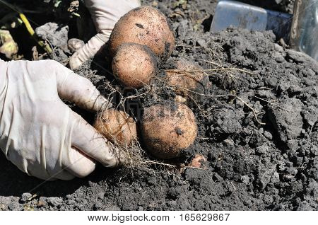farmer harvesting potatoes in the vegetable garden
