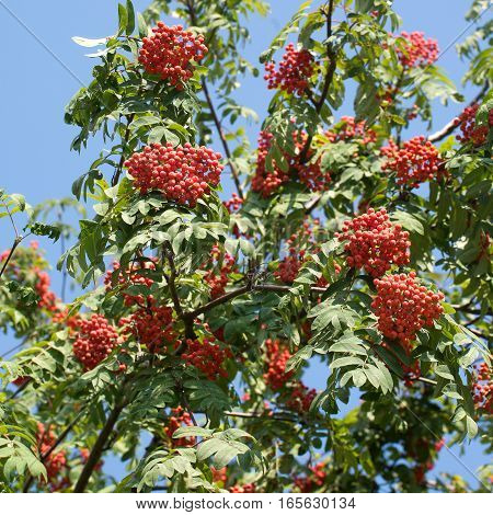 Many rowan-berries fruits hangs on green branches in early autumn on cloudless sky. Closeup photo
