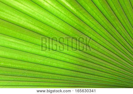 Fan palm leaf texture with lighting behine