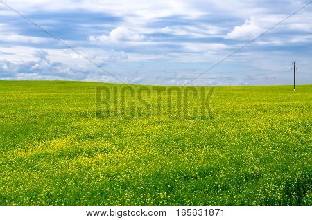Blooming yellow rapeseed field with power line in Belarus