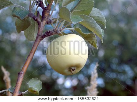 Apple varieties White filling growing on apple tree branch on a summer day. Closeup photo
