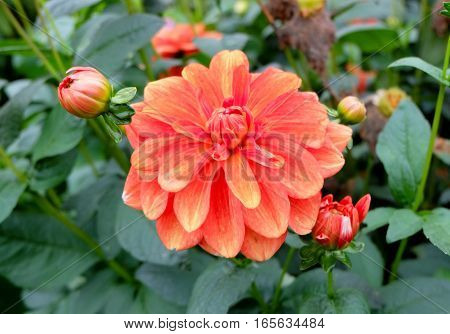 Mulitcolored dahlia (dalia) in full bloom with colors of the petals ranging from red and pink to orange and yellow. In the background other dahlias with closed buds can be seen.