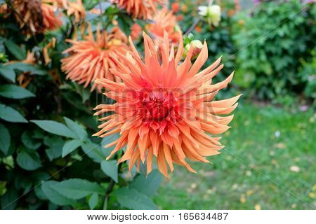 Closeup of a dahlia (dalia) with multicolored petals which vary from red and pink to orange and peach / pastel color tones. The flower in the garden is in full bloom with widely open bud.