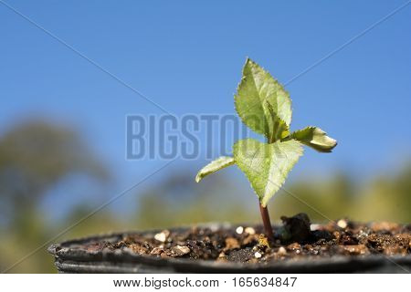 Small green apple tree sprout under blue sky