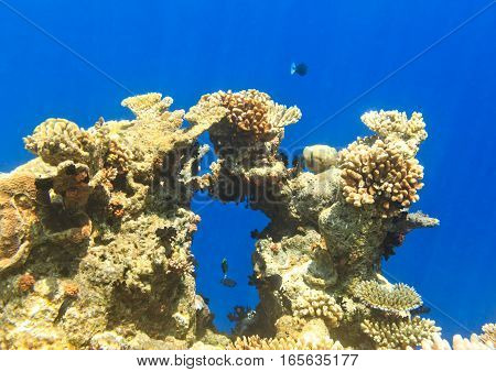 Big coral and small fishes in the Indian Ocean Maldives