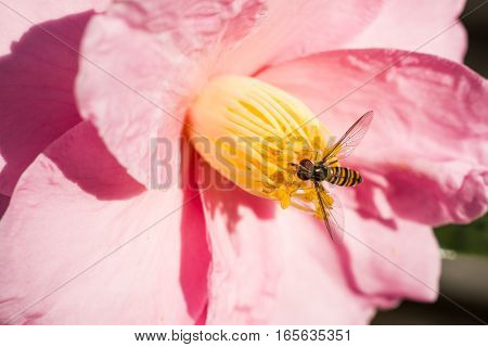 Hoverfly(Episyrphus balteatus) came to pink camellia sasanqua flower in winter