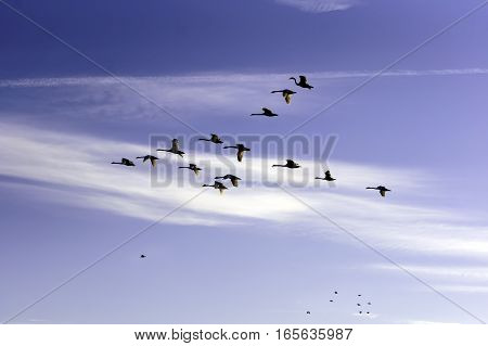 Beautiful view with a flock of swans flying against the blue sky