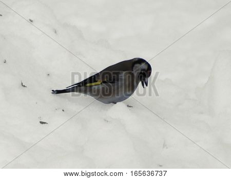 Little singing bird eating seeds from the snow.