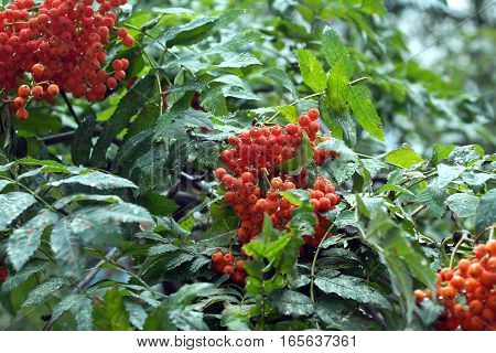 Many rowan-berries fruits hangs on green branches on summer day closeup
