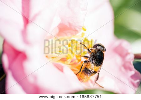 Hoverfly(Phytomia zonata) came to pink camellia sasanqua flower in winter