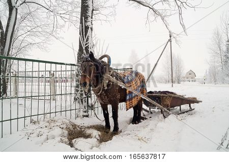 photo on a horse-drawn sleigh in winter frosty day