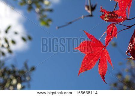 Vivid red maple leaf under blue sky