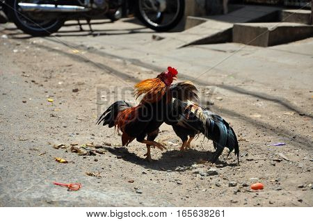 Cock Fighting In Vietnam