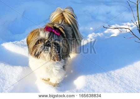 Cute small Shih Tzu on the snow