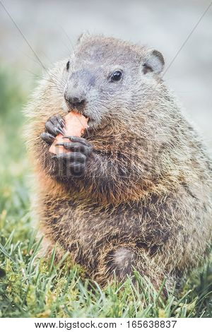 Cute little Groundhog (Marmota Monax) sitting up on grass eating carrot, portrait