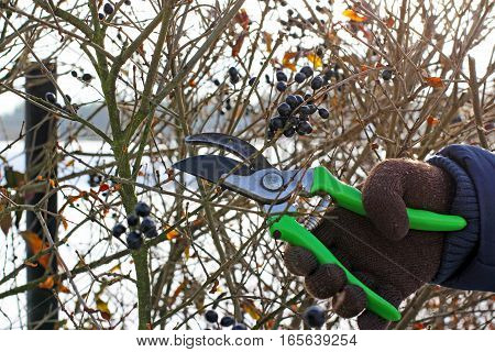 pruning a hedge in the early spring