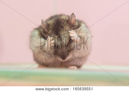 Sungarski hamster sits and washes his face