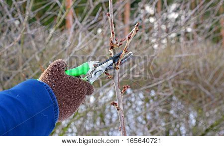pruning a pear tree in the early spring