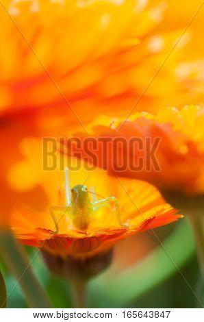 In the sun 's light, beautiful calendula is in full bloom. Grasshopper is on board.