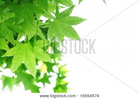 Fresh maple leaf on white background