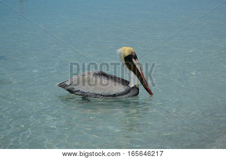 Pelican with golden head and light blue eyes at the caribbean sea