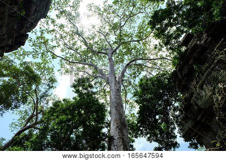 A huge and very high white tree standing between ornate temple walls. The blue sky and the sun shining can be seen through the tree top and the green leaves. Shot from below and located in the ancient ruins of Angkor in the Cambodian rainforest.