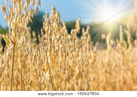 golden ear of oats against the blue sky, foresta nd sun soft focus, closeup, agriculture background