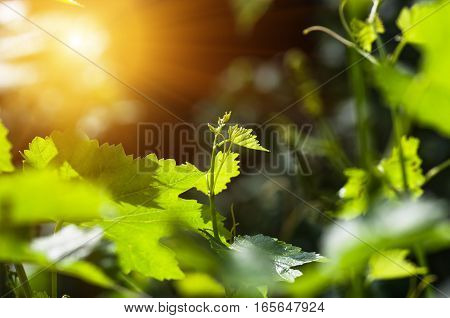 gentle young green grape leaves and mustache on grapevine, in the spring, closeup, spring background