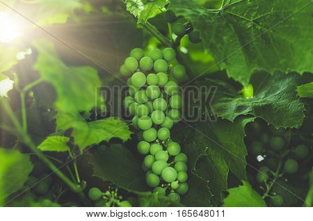 unripe white grapes ripening on the vine, blue tone, agricultural background